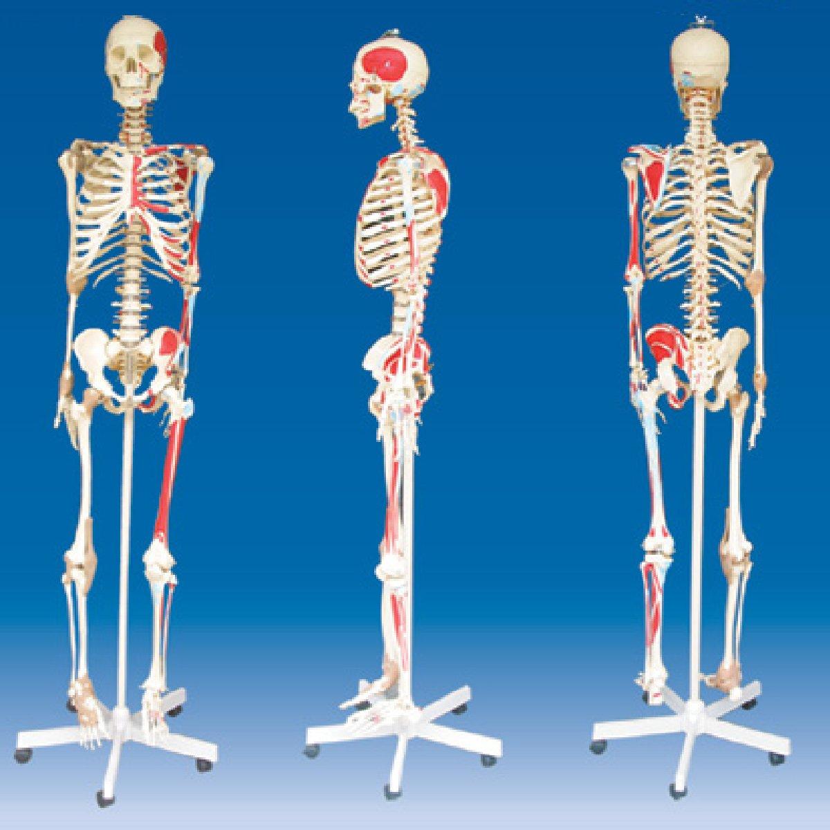 מודלים גוף האדם