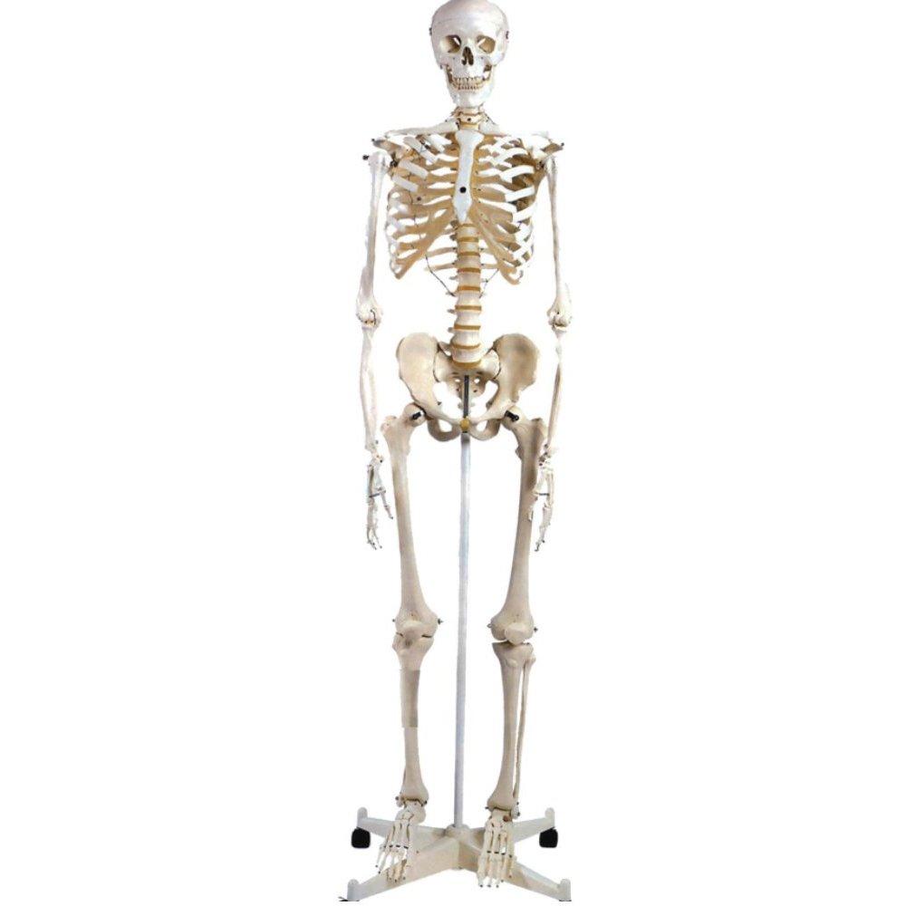 שלד אדם גודל טבעי