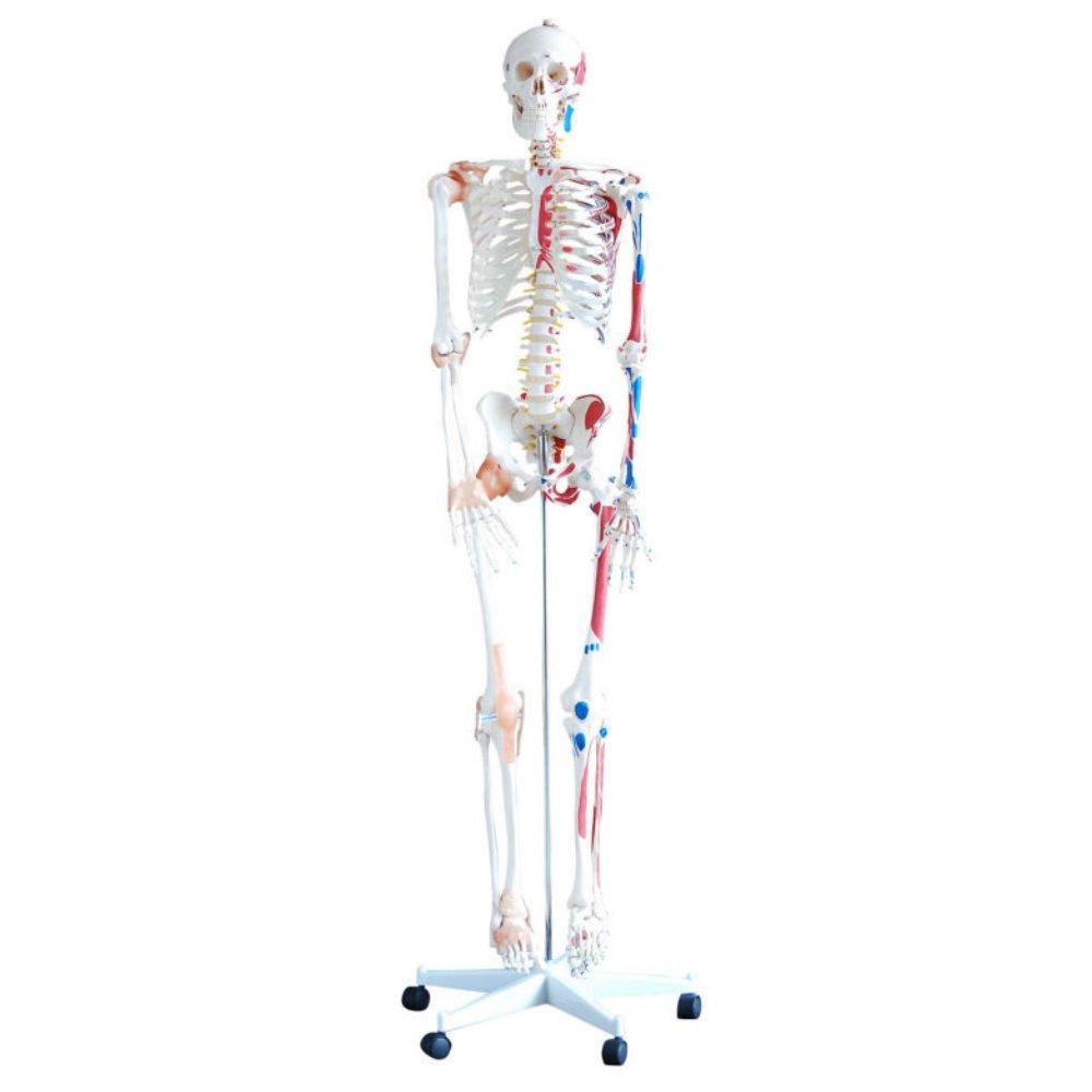שלד אדם מיקום שרירים צבוע