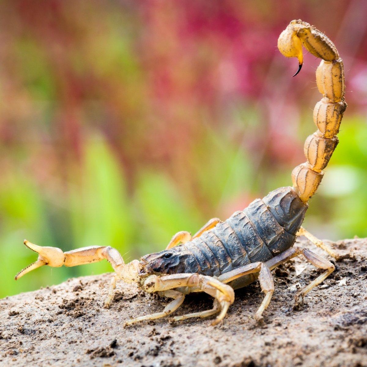 הכשת עקרב
